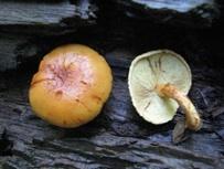Tricholomopsisdecora