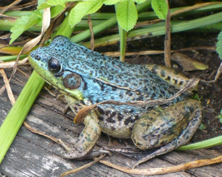 blue_frog_1small