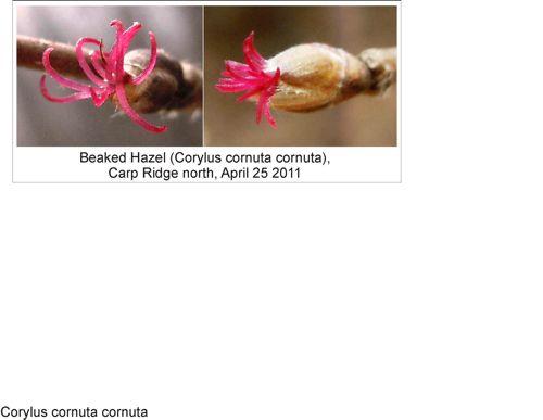 Beaked_hazel_flower_2