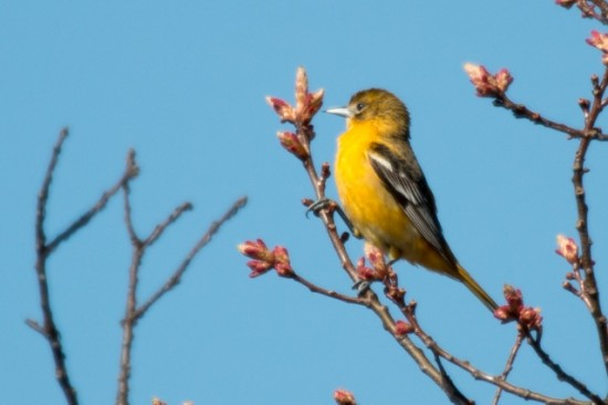 Baltimore_Oreole-Male_yearling-IMG_0588