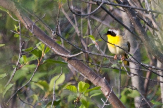 Common_Yellowthroat-IMG_3704