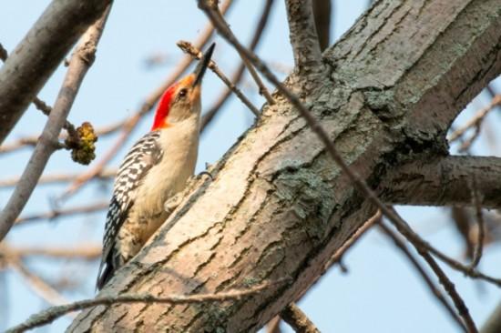 Red-bellied_Woodpecker-IMG_1297