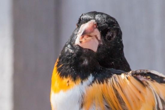 Rose-breasted_Grosbeak-orange-IMG_1060