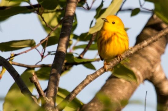 Yellow_Warbler-IMG_3723
