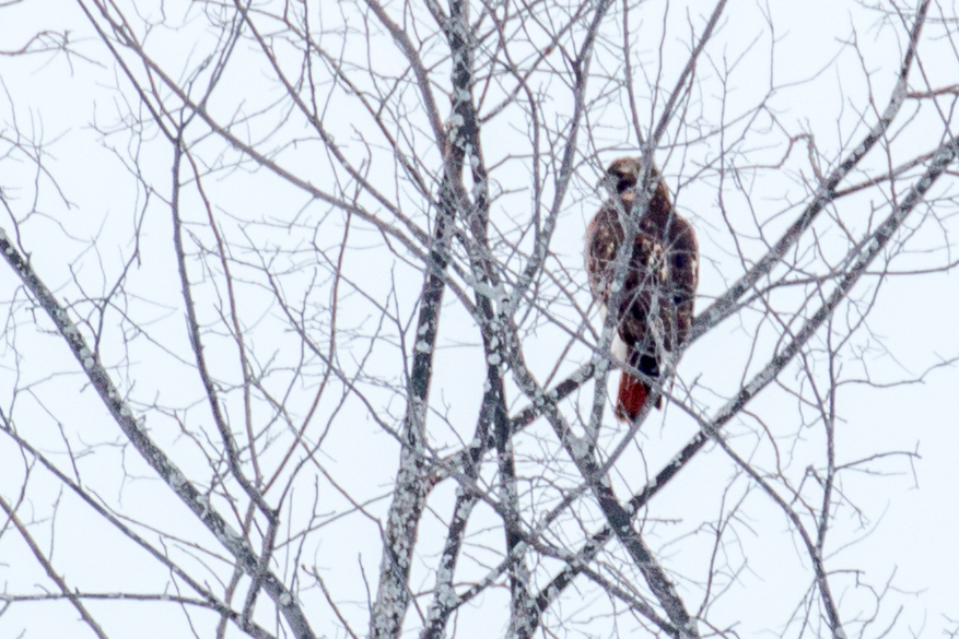 Red-tailed_Hawk-IMG_2720