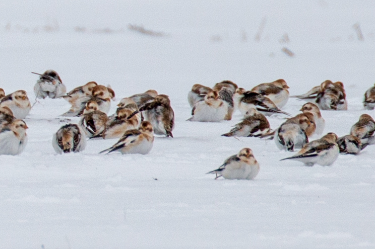 Snow_Bunting-IMG_2598