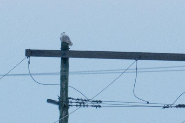 Snowy-Owl-IMG_2731