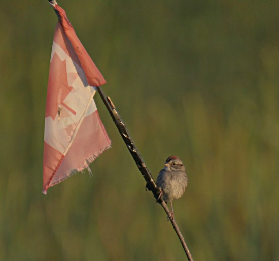 patriotic swamp sparrow
