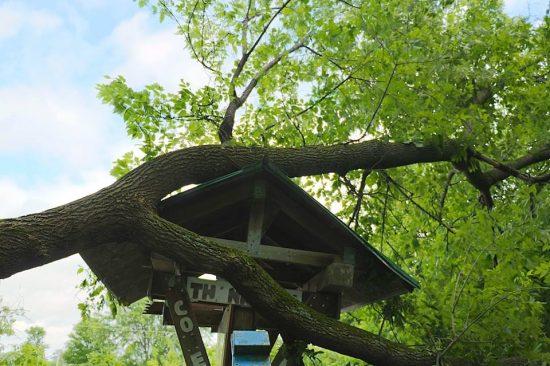 Large branch of the downed Manitoba Maple that blocked the Macnamara Trailhead