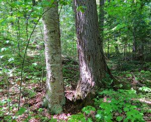 Yellow Birch and Hemlock