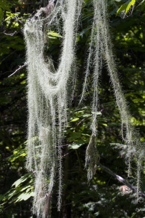New Brunswick Beard lichen