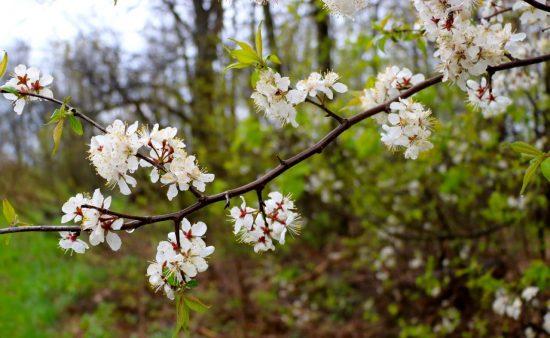 Prunus nigra - Canada Plum