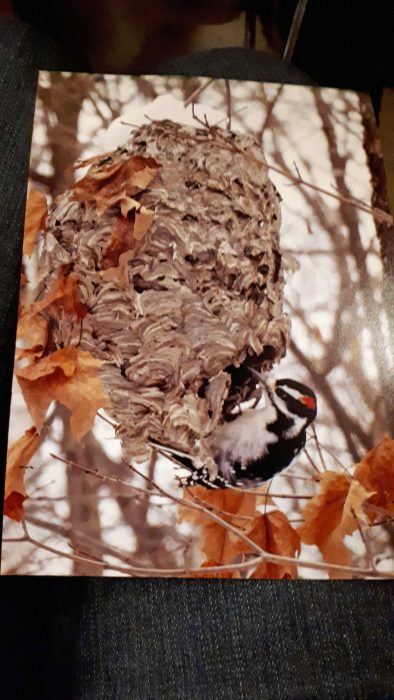 woodpecker dining on wasps' nest - Brian Roadhouse