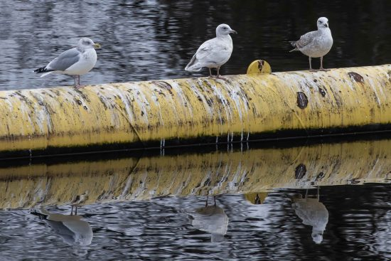 Iceland Gull on the Madawaska River, Arnprior