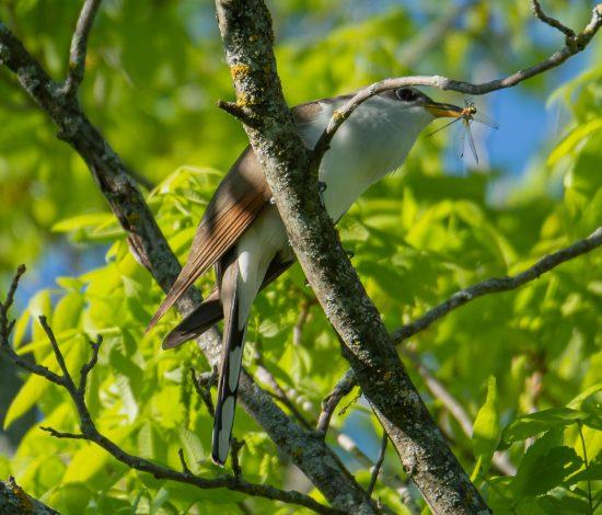 YBCU-Yellow-billed-Cuckoo